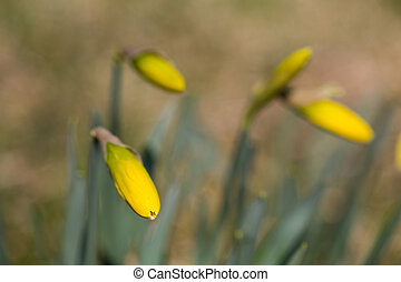 spring awakening - daffodils bloom in front of the small...