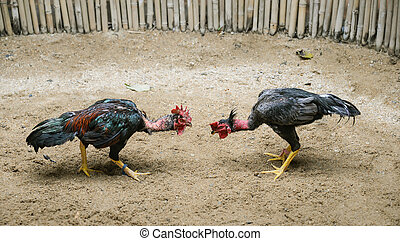 Cockfighting -  Two roosters ready to fight in arena.
