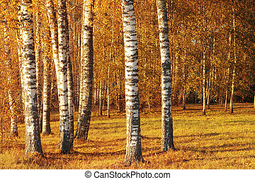 Birch tree in the autumn. - Russian birch tree in the...