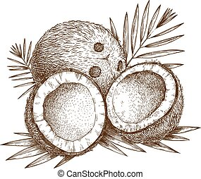 illustration of coconut - Vector engraving illustration of...