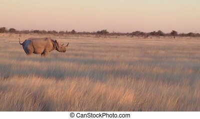 Rhino walking in field Etosha, Nami - Rhino walking in the...