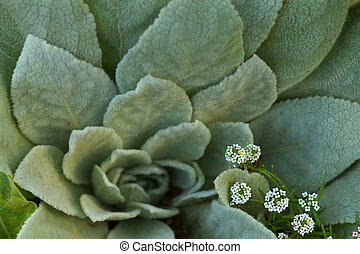 lambs ears and alyssum - Short depth of field lambs ears and...