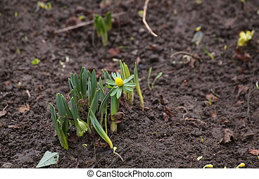 Winter Aconite (Eranthis hyemalis) - Flowering winter...