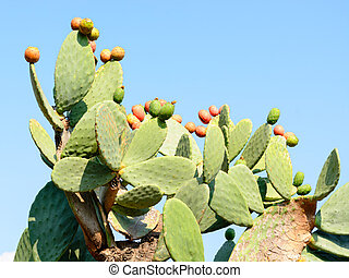 Cactus Opuntia with red ripe fruits - Botanical garden of...