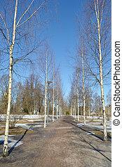 Birch alley in Lappeenranta. - Birch alley in center of...