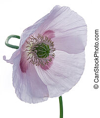 Poppy - Studio Shot of Poppy Isolated on White Background...