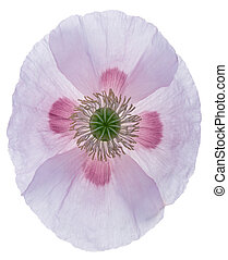 Poppy - Studio Shot of Poppy. Isolated on White Background....