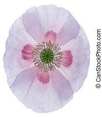 Poppy - Studio Shot of Poppy. Isolated on White Background....