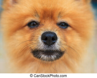 close up good healthy nose of pomeranian dog,good health of...