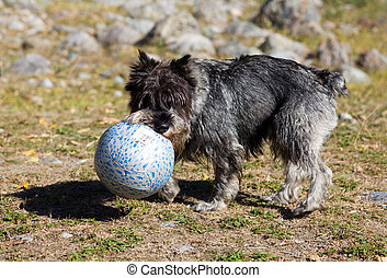 plays with a ball - The puppy of a schnauzer plays with a...
