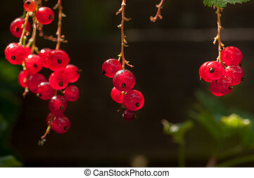 Organic Red Currant fruit on the shrub close up