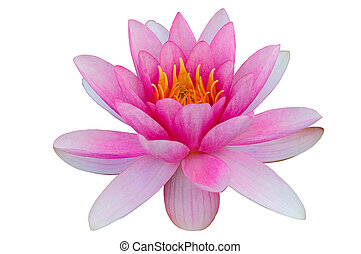 Pink water lily white background clip art clipping path
