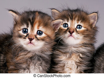 Siberian kittens - Cautious cute siberian kittens over grey...