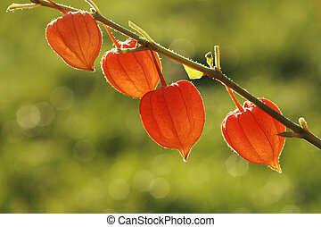Orange physalis on the green background. - Orange physalis...