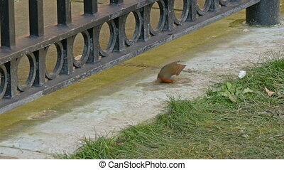 A bird european robin hopping and eating on the edge of the...