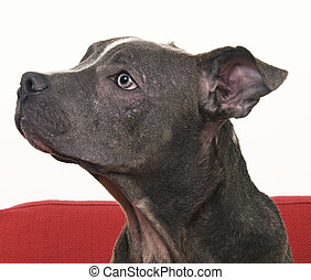 American Pit Bull Terrier  - side view of Pit Bull terrier