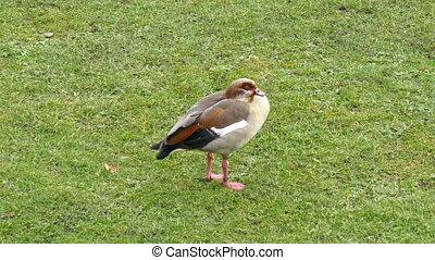 A Eurasian coot bird on the grass - A Eurasian coot bird on...