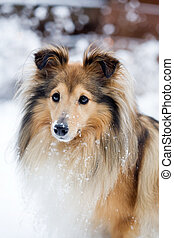 Sheltie outdoors in winter