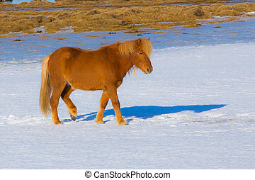 Icelandic Horses in snow field - Icelandic Horse in dry...