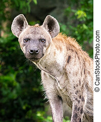 Hyena - Portrait of hyena standing in front of natural scene...