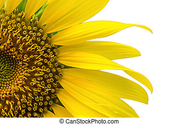 sunflower - Beautiful sunflower isolated on white background