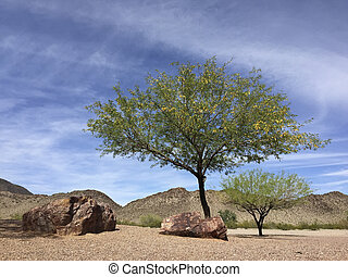 Arizona Mesquite trees in desert backyard - Flowering...