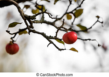 Apple tree wiht two red apples