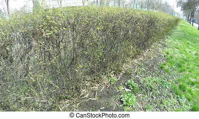 Trimmed bushes - Camera on steadicam past trimmed bushes