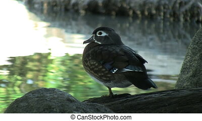Female Wood Duck Standing On Rock - Female Wood Duck...