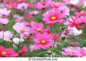 Cosmos flowers and buds,many pink and red cosmos flowers...