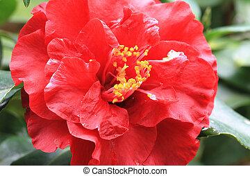 Cosmos flower,closeup of pink cosmos flower in full bloom in...