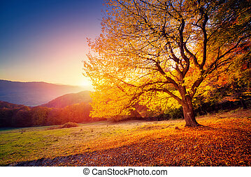 beautiful autumn trees - Majestic alone beech tree on a hill...