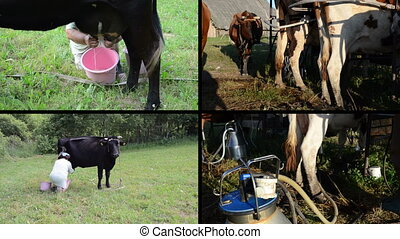 Manual and automatic cow milking in - Woman manually milk...
