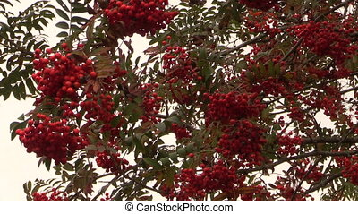 Rowan sorb berries tree branches move in wind. Panorama...