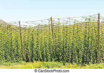 Hops next to the road above the Outeniqua Pass - GEORGE,...