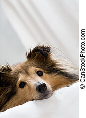 Sheltie - Cute sheltie laying on bed