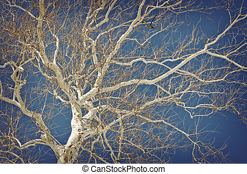 American Sycamore - Amazing American sycamore tree against a...