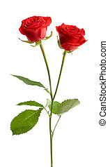 Red rose - Red valentine rose on white isolated background