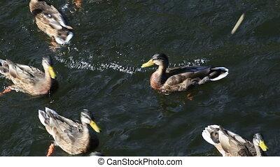 Wild ducks bread catch in the river