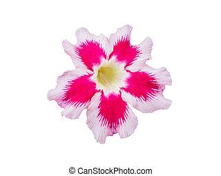 rosa, fiore,  adenium,  obesum