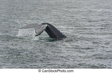 Humpback Whale diving Megaptera novaeangliae