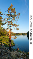 Pine tree on Ladoga lake shore - Pine tree under sunset...