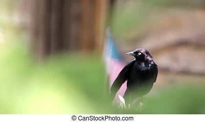 Black Bird - Young Carrion Crow Looking down at a dead fly