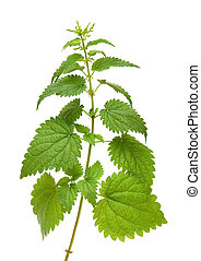 green nettle plant - high green nettle plant isolated on...