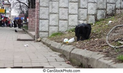 Black Dog homeless on the street eating a meal - Mongrel dog...