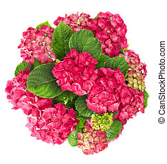 hortensia flowers bouquet isolated on white background....