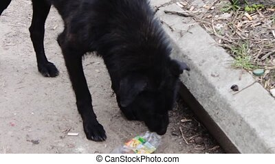 Homeless on the street Black Dog gnaws a plastic bottle. -...