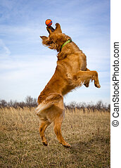 Golden retriever on hind legs reaching for ball with blue...