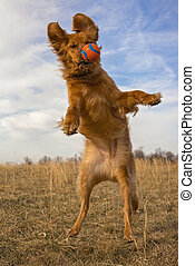 Golden retriever in mid air facing viewer