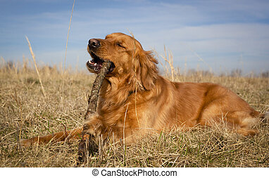 Happy dog chewing - Contented golden retriever chewing...